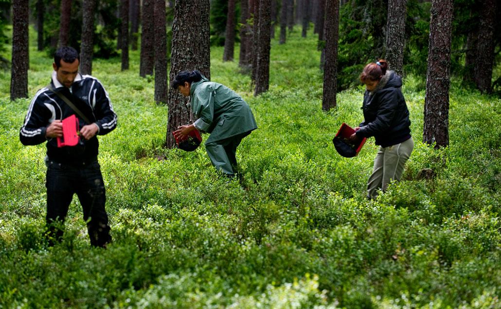 Bulgariska bärplockare i skogen strax söder om Mehedeby i Tierps kommun i norra Uppland. Oroliga bärplockare slog natten till torsdagen larm om att de blev trakasserade. Personer som bor i trakten ska ha kommit dit och kastat både glåpord och stenar.