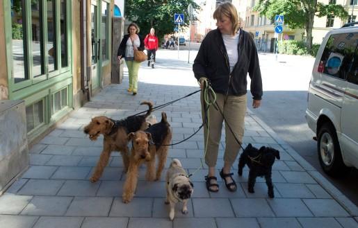 På promenad med airedaleterrierna Ture och Hjalmar, mopsarna Oliver och Hefner samt schnauzern Charlie.