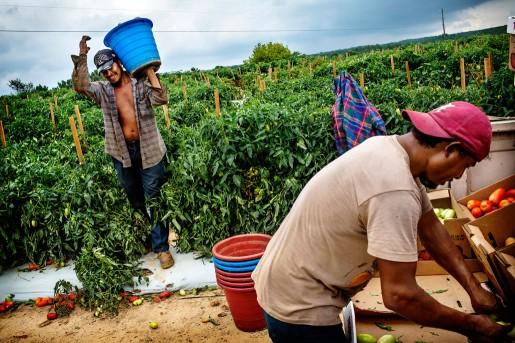 Bernardo (vänster) började plocka tomater redan som 6-åring, i Mexiko. Han har nu varit i USA i 12 år. – Visst är jag rädd sedan lagen trädde i kraft. Men vad har jag för val, jag måste arbeta. Pascal (höger) betalade nästan 4000 USD för att korsa gränsen från Mexiko till USA för åtta år sedan. – Jag vill bara arbeta, i mitt hemland finns inga jobb, inga möjligheter, säger han.  -Men numera är jag till och med rädd för att köra till jobbet här.