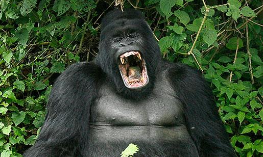 Detta är en riktig gorilla. Foto: Jerome Delay