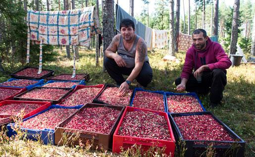 Arbetet mötte bulgariska plockare i skogen förra sommaren. De kom hit på turistvisum, och hur många de blir i sommar är oklart. Foto: Bertil Enevåg Ericson