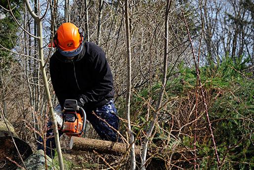 Röjning av skog kan snart inte göras av amatörer utan motorsågskörkort. Foto: Hasse Holmberg