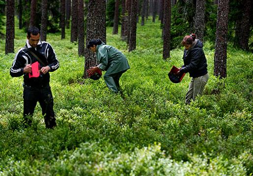 Bulgariska bärplockare i skogen i Uppland. Foto: Pontus Lundahl