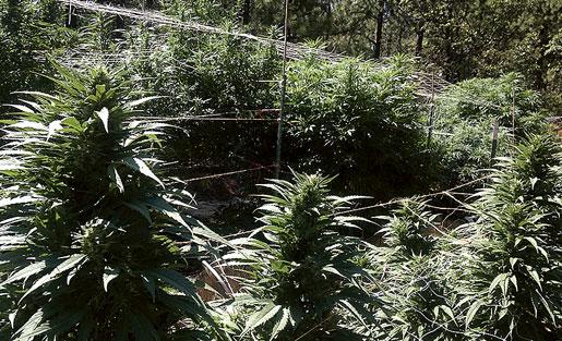 Scotts marijuanaodling i Kalifornien har blivit mindre lönsam på senaste tiden.Foto: Hanna Sistek