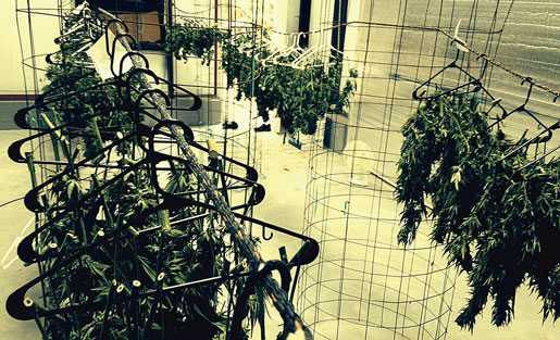 Plantorna torkas på galgar. Foto: Hanna Sistek