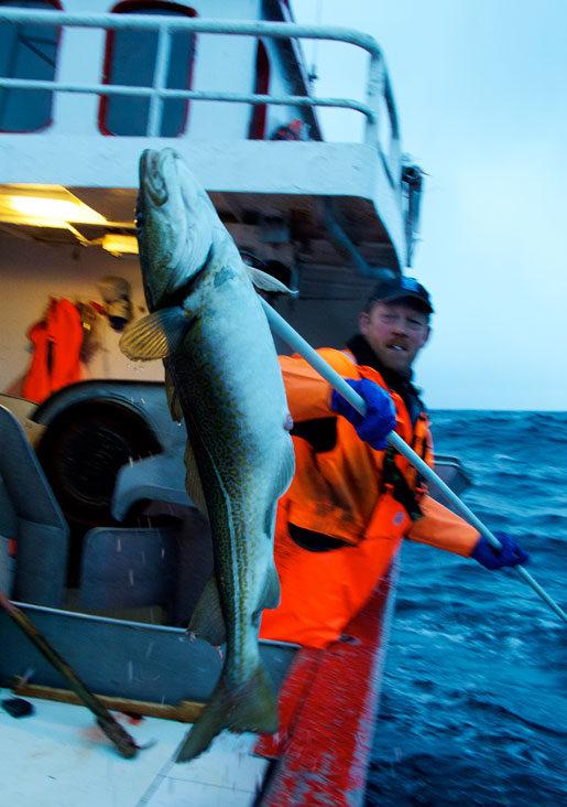 – Det finns mer fisk nu än när jag var liten, säger Børge Iversen, som har fiskat i 42 år. Det är inte ovanligt att han får upp 20-kilostorskar. Foto: Johan Augustin