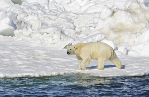 In this June 15, 2014 photo, a polar bear dries off after taking a swim in the Chukchi Sea in Alaska. A paper published Wednesday, April 1, 2015 says polar bears forced onto land because of melting ice are unlikely to find enough food to replace their diet of seals. (AP Photo/U.S. Geological Survey, Brian Battaile)
