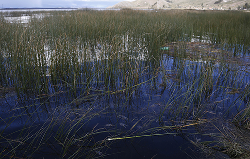 This April 25, 2015 photo shows dead frogs floating on the surface of Lake Titicaca in Pata Patani, Bolivia. Lake Authority President Alfredo Mamani blames the frog kill on untreated sewage and other waste that distill into a hydrogen-sulfite cocktail that chokes the life out of near-shore aquatic habitats. (AP Photo/Juan Karita)
