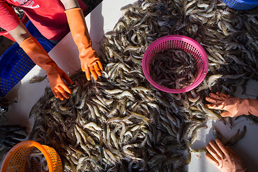 ADVANCE FOR USE MONDAY, DEC. 14, 2015 AT 12:01 A.M. EST (05:01 GMT) AND THEREAFTER - In this Wednesday, Sept. 30, 2015 photo, female workers sort shrimp at a seafood market in Mahachai, Thailand. Shrimp is the most-loved seafood in the U.S., with Americans downing 1.3 billion pounds every year, or about 4 pounds per person. Once a luxury reserved for special occasions, it became cheaper when farmers in Asia started growing it in ponds three decades ago. Thailand quickly dominated the market and now sends nearly half of its supply to the U.S. (AP Photo/Gemunu Amarasinghe)