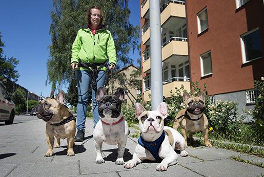 Att gå fot är inte de franska bulldoggarnas starkaste sida. Therese Rosell på promenad.Foto: Jessica Gow/TT