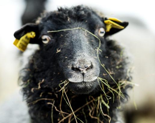 Det var djurens behov som gjorde att Lars Halvarsson inte ville börja pendla till lantmäteriet i Mora, en timmes bilväg bort. Foto: Ulf Palm