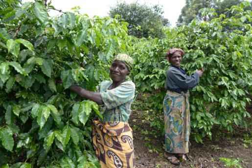Justina och Taines Mwanalubusya var gifta med samma man. När han dog ärvde de gården där de försörjer sig på odling av kaffe, bananer och majs.Foto: Petter Bolme (klicka på bilden för att se den större)